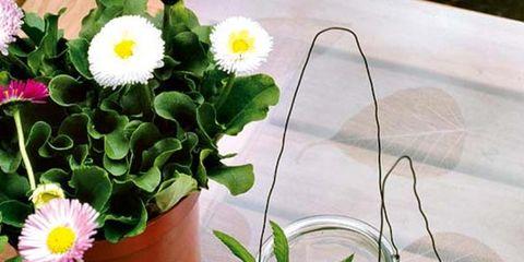 Petal, Flower, Liquid, Serveware, Flowering plant, Drinkware, camomile, Chamaemelum nobile, Dishware, Marguerite daisy,