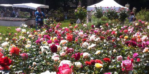 Petal, Plant, Shrub, Flower, Tent, Pink, Garden, Flowering plant, Botany, Rose order,