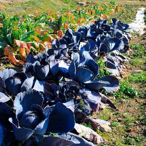 Blue, Leaf, Botany, Electric blue, Cobalt blue, Groundcover, Plantation, Field, Natural material, Perennial plant,