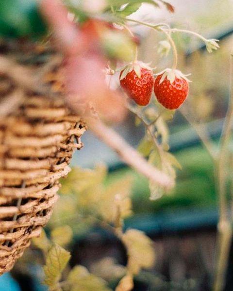 cesta colgante con plantas de fresas