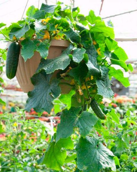 cultivar pepinos en macetas colgantes