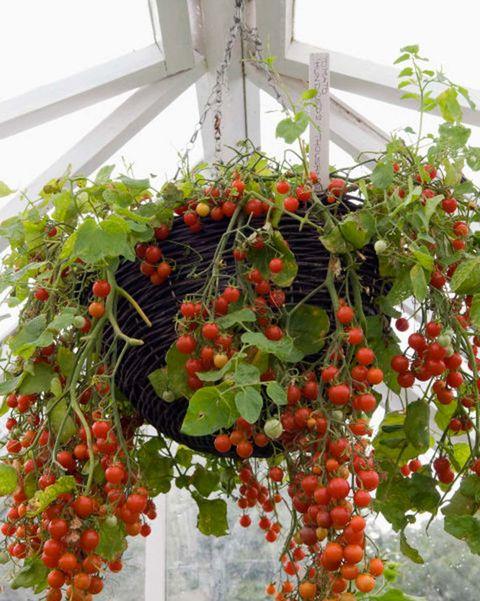 tomates plantados en una cesta colgante