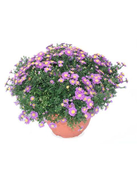 plantas resistentes al sol aster