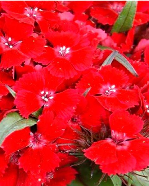 plantas resistentes al sol clavelina