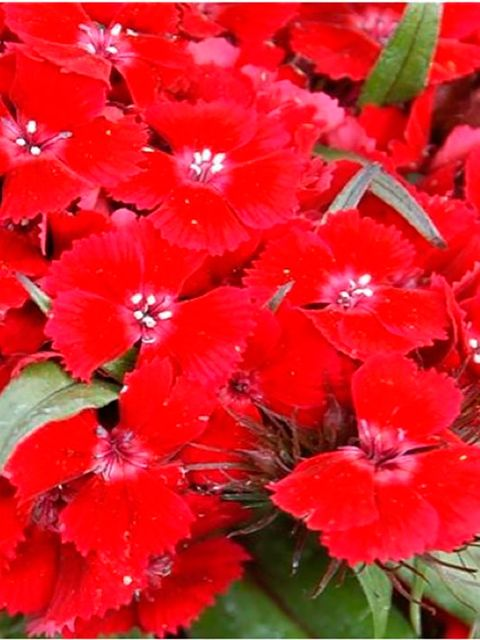 Flower, Flowering plant, Red, Plant, Petal, sweet william, Dianthus, Pink family, Impatiens, Annual plant,