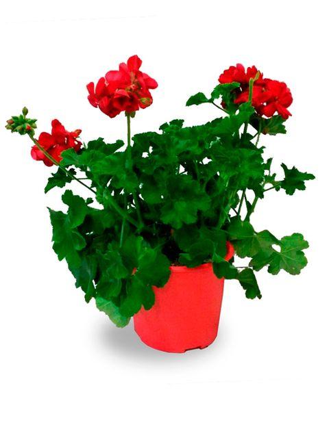 12 plantas de sol para el verano - Plantas de balcon resistentes al sol ...