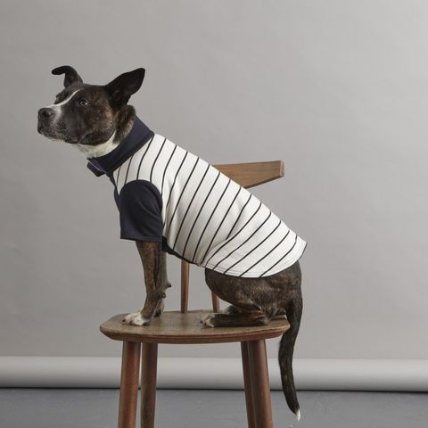 Dog clothes, Dog, Canidae, Dog breed, Boston terrier, Carnivore, Companion dog, American hairless terrier, Fawn, Neck,