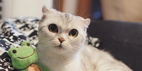 Cat, Mammal, Vertebrate, Small to medium-sized cats, Felidae, Whiskers, Carnivore, Scottish fold, Asian, Burmilla,