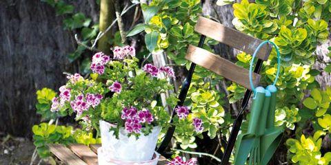 Plant, Petal, Flower, Shrub, Flowerpot, Pink, Purple, Garden, Flowering plant, Magenta,
