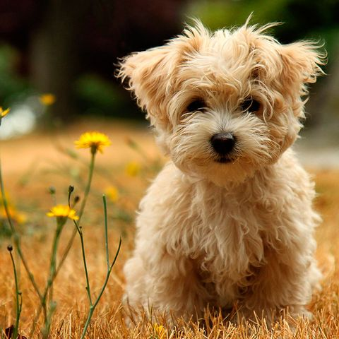 Dog breed, Carnivore, Dog, Mammal, Toy dog, Puppy, Small terrier, Snout, Terrier, Companion dog,