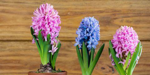 Flower, Hyacinth, Flowering plant, Flowerpot, Plant, Houseplant, Plant stem, Petal, Perennial plant,