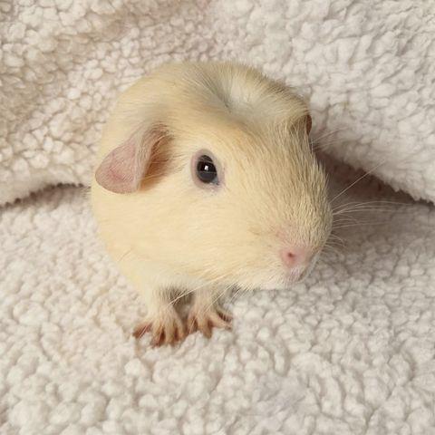 Mammal, Skin, Rodent, Guinea pig, Gerbil, Nose, Hamster, Rat, Eye, Beige,