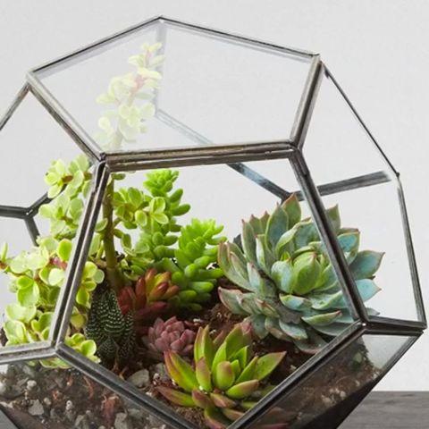 Glass, Succulent plant, white mexican rose, Echeveria, Transparent material, Stonecrop family, Pachyphytum, Plant stem, Square,
