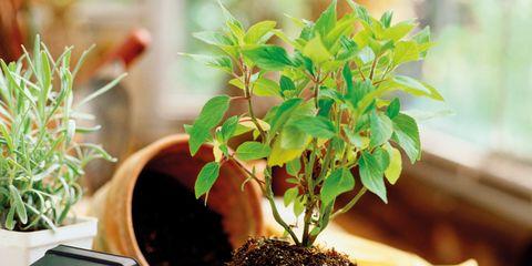 Houseplant, Flowerpot, Soil, Plant, Tree, Herb, Flower,