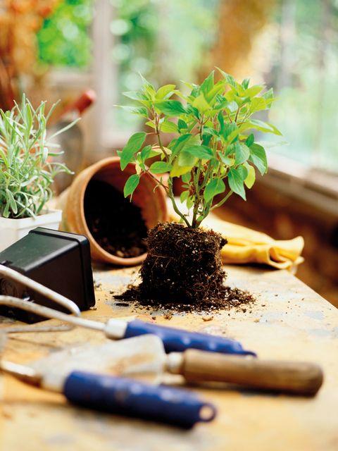 Houseplant, Flowerpot, Plant, Soil, Tree, Herb, Flower,