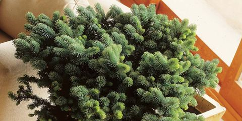 Flowerpot, Conifer, Annual plant, Cypress family, Pine family, Evergreen,