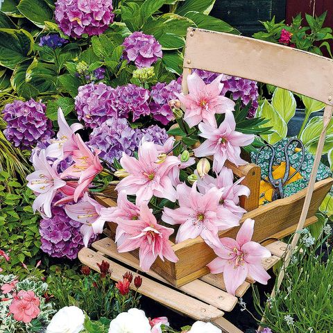 Petal, Plant, Flower, Shrub, Pink, Garden, Flowering plant, Purple, Lavender, Spring,