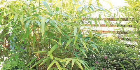 Tipos Y Cuidados Del Bambú