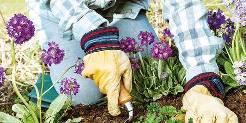 Purple, Soil, People in nature, Flower, Lavender, Shrub, Violet, Wrist, Petal, Gardener,