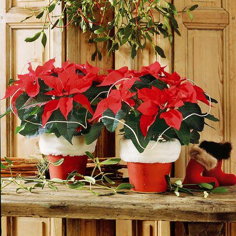 Flower, Flowerpot, Houseplant, Red, Plant, Poinsettia, Anthurium, Carmine, Impatiens, Flowering plant,