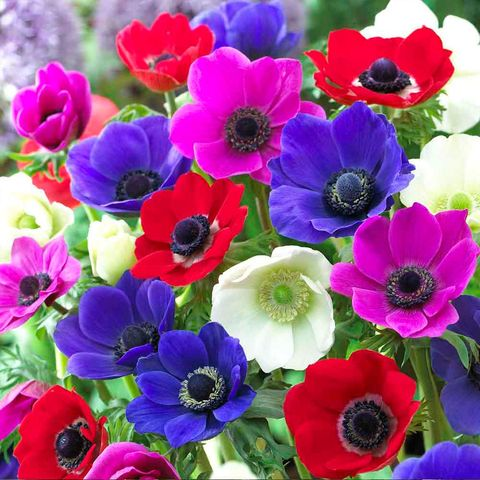 Petal, Blue, Plant, Flower, Red, Flowering plant, Magenta, Cut flowers, Floristry, Purple,