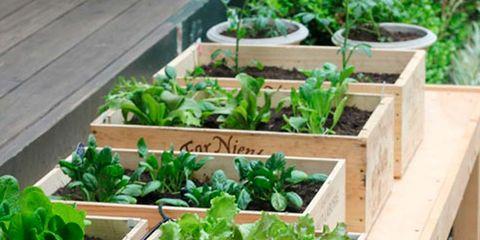 Vegetable, Herb, Plant, Leaf vegetable, Local food, Garden, Fines herbes, Produce, Food, Lettuce,