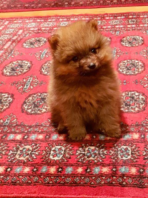 Dog, Mammal, Vertebrate, Canidae, Spitz, Dog breed, Pomeranian, Puppy, Carnivore, German spitz,
