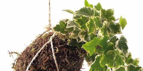 Leaf, Twig, Annual plant, Herb, Plant stem,