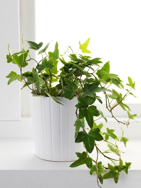 Flower, Flowering plant, Plant, Flowerpot, Houseplant, Leaf, Ivy, Herb, Ivy family, Plant stem,