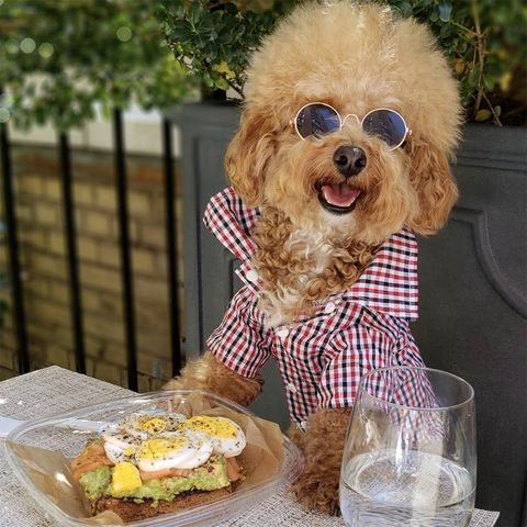 Dog, Canidae, Companion dog, Toy Poodle, Food, Carnivore, Puppy, Dog clothes, Poodle, Cuisine,
