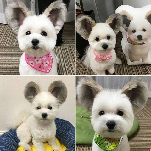 Dog, Mammal, Canidae, Dog breed, Puppy, West highland white terrier, Companion dog, Snout, Ear, Carnivore,