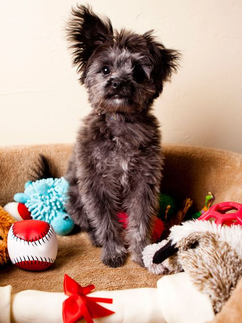 Dog, Mammal, Canidae, Dog breed, Puppy, Schnoodle, Cairn terrier, Carnivore, Morkie, Yorkipoo,