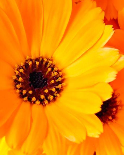 caléndula, una flor que repele los mosquitos