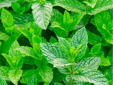 Flowering plant, Leaf, Plant, Flower, Herb, Spearmint, Mint, Perilla frutescens, Peppermint, Nettle family,