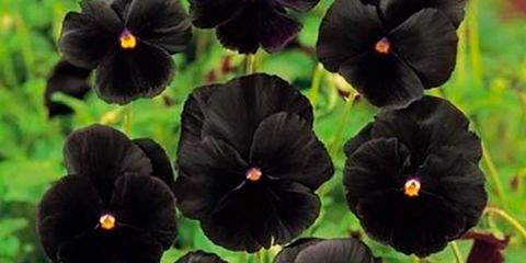 Flower, Flowering plant, Pansy, Plant, wild pansy, Viola, Violet family, Petal, Annual plant,