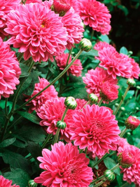 Flower, Flowering plant, Plant, Pink, Petal, Chrysanths, Dahlia, Annual plant, Floral design, Aster,