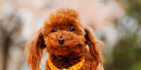 Dog, Vertebrate, Canidae, Mammal, Toy Poodle, Dog breed, Poodle, Companion dog, Carnivore, Miniature Poodle,