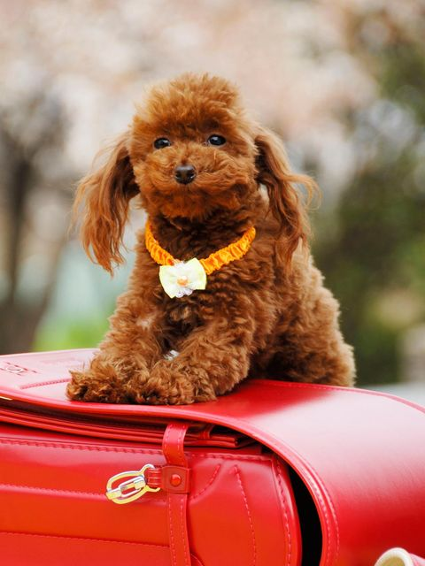 Dog, Canidae, Mammal, Dog breed, Toy Poodle, Poodle, Companion dog, Carnivore, Puppy, Miniature Poodle,