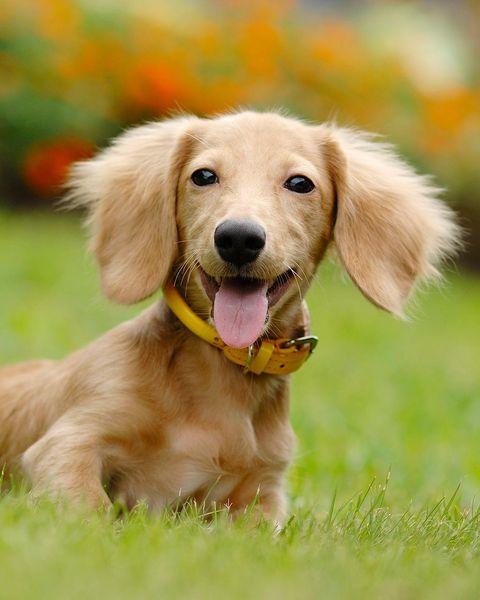 perro tejonero o dachshund