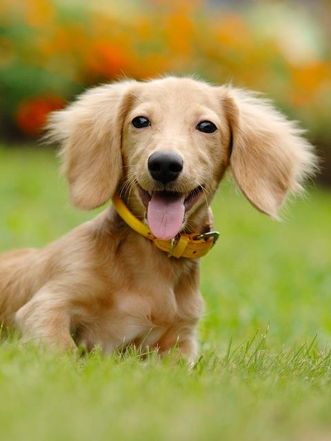 Dog, Mammal, Vertebrate, Dog breed, Canidae, Carnivore, Companion dog, Snout, Golden retriever, Puppy,