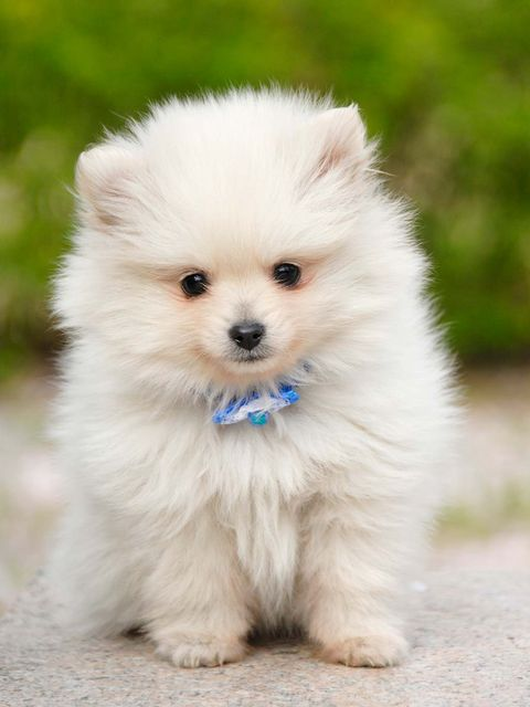 Dog, Mammal, Vertebrate, Dog breed, Canidae, Spitz, Volpino italiano, Pomeranian, German spitz, Puppy,