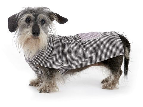 Dog breed, Dog, Canidae, Dog clothes, Snout, Companion dog, Carnivore, Sealyham terrier, Outerwear, Sweater,