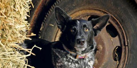 Dog, Mammal, Vertebrate, Canidae, Dog breed, Carnivore, Australian cattle dog, Koolie, Texas heeler, Australian stumpy tail cattle dog,