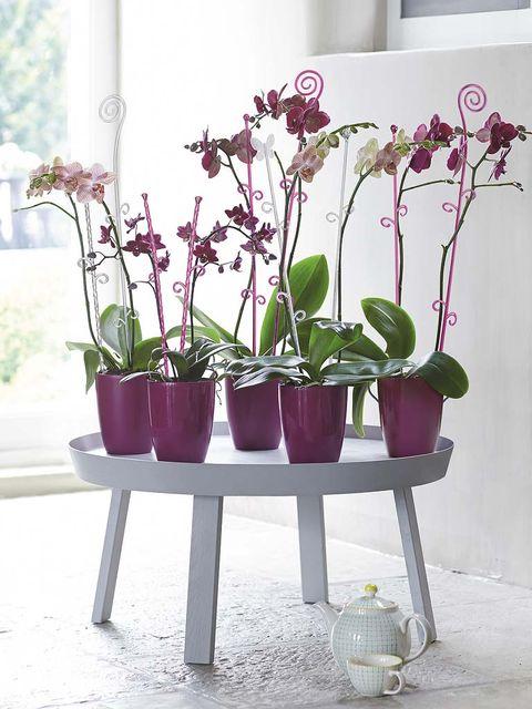 Plant, Flowerpot, Petal, Purple, Flower, Magenta, Violet, Interior design, Flowering plant, Lavender,