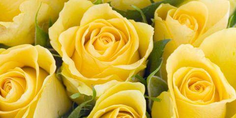 Flower, Rose, Garden roses, Yellow, Floribunda, Rose family, Julia child rose, Plant, Cut flowers, Flowering plant,