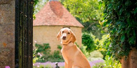 Dog, Canidae, Mammal, Dog breed, Carnivore, Fawn, Sporting Group, Companion dog, Golden retriever, Portuguese pointer,