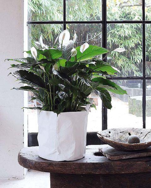 Flowerpot, Flower, White, Houseplant, Plant, Botany, Room, Table, Anthurium, Interior design,