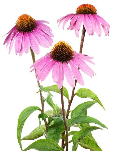 Purple coneflower, Flower, Petal, Purple, Leaf, Magenta, Pink, Botany, Violet, Coneflower,