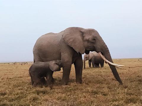 Elephant, Terrestrial animal, Elephants and Mammoths, Mammal, Vertebrate, Indian elephant, Wildlife, African elephant, Safari, Grassland,