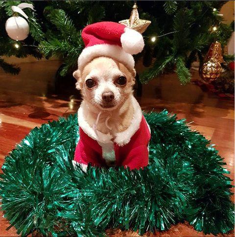 Dog, Canidae, Christmas ornament, Christmas, Dog clothes, Christmas tree, Dog breed, Holiday ornament, Carnivore, Christmas decoration,